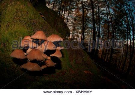 Mushroom in a woodland, Aveto valley, Genoa, Italy, Europe. - Stock Photo