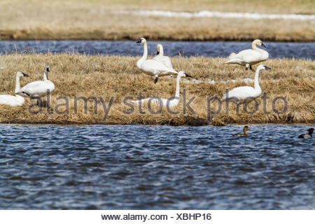 Tundra Swan (Cygnus columbianus) Gracefull and beautiful, swans, on shore line beside Alberta field High River, Alberta, Canada - Stock Photo