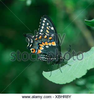 A Black Swallowtail Butterfly rests on a leaf - Stock Photo