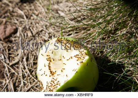Ants eating a half eaten green apple, outdoors - Stock Photo