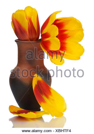 Tulip flower in a pot of red clay, isolated. - Stock Photo