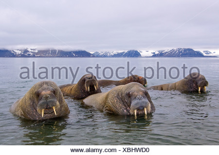 Adult male Atlantic walruses (Odobenus rosmarus rosmarus), Svalbard Archipelago, Arctic Norway - Stock Photo