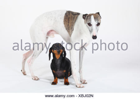 Smooth haired Dachshund, black and tan, with with Whippet standing over - Stock Photo