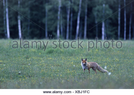 Red Fox searching for food on a wood meadow - Stock Photo
