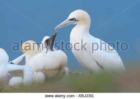 Northern Gannet with chick, Heligoland, Schleswig-Holstein, Germany / (Morus bassanus, Sula bassana) - Stock Photo
