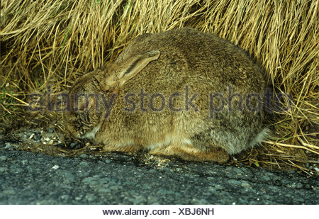 A rabbit Oryctolagus cuniculus suffering with myxomatosis - Stock Photo