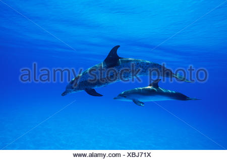 Spotted Dolphins - Stock Photo