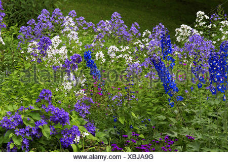 milky bellflower (Campanula lactiflora), flowerbed with larkspur - Stock Photo