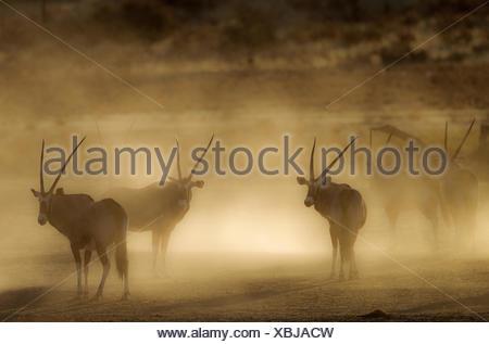 Gemsbok (Oryx gazella), nervous and raising lots of dust in the early morning, Kalahari Desert, Kgalagadi Transfrontier Park, South Africa, this photo - Stock Photo