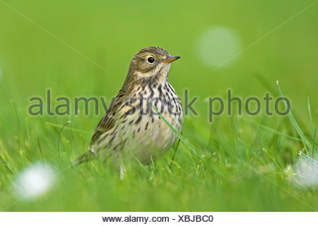 meadow pitpit (Anthus pratensis), standing on a meadow , Germany, Schleswig-Holstein, Heligoland - Stock Photo