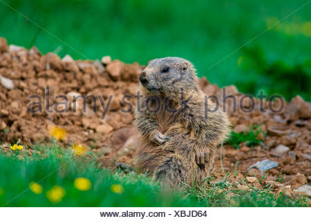 Gaver, Bagolino, Lombardy, Italy Portrait of a marmot sitting tripped in the plain of Gaver - Stock Photo