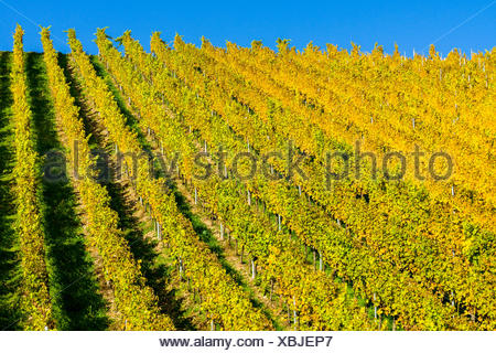 Yellow colored wineyard at the slopes of the river Main in autumn, bei Ochsenfurt, Bavaria, Germany - Stock Photo