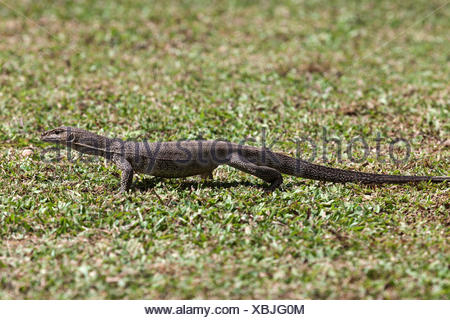 Bengal or common Indian monitor (Varanus bengalensis), juvenile, Sri Lanka - Stock Photo