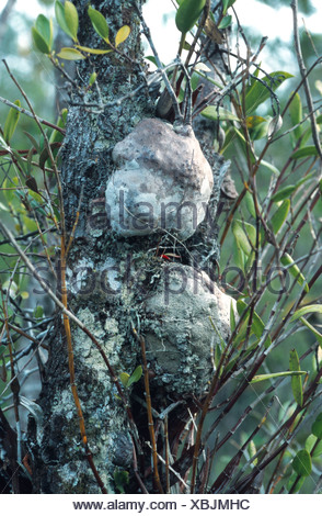 ant plant (Hydnophytum formicarium), chambers, Malaysia, Sarawak - Stock Photo