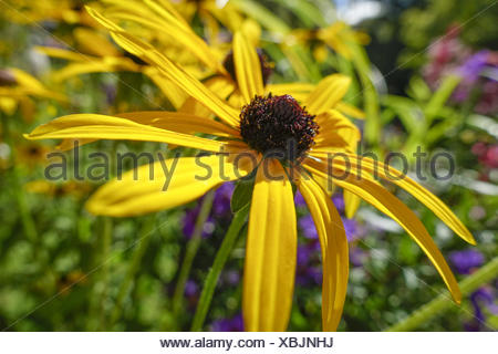 Garten-Sonnenhut (Rudbeckia fulgida var deamii), Goldsturm flower (Rudbeckia fulgida var deamii), asteraceae, background, black, - Stock Photo