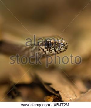 Male Western blindworm (Anguis fragilis) between brown leaves on the forest floor, Usedom Island, Mecklenburg-Western Pomerania - Stock Photo