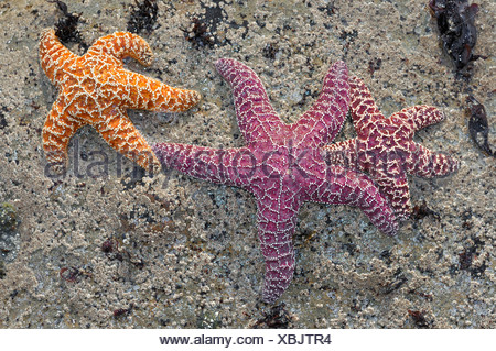Sea stars (Echinodermata spec.) in a pool left by the tide, Olympic National Park, Washington, USA, North America - Stock Photo