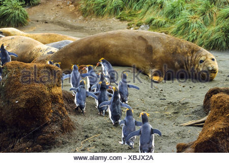 southern elephant seal (Mirounga leonina), with Royal Penguins, Eudyptes schlegeli, Australia, Macquarie Island - Stock Photo