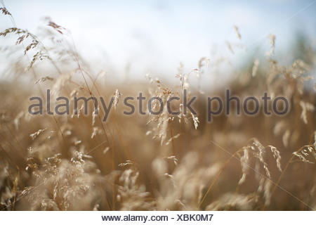 dry grass on field. plant, brown, withered, straw. - Stock Photo