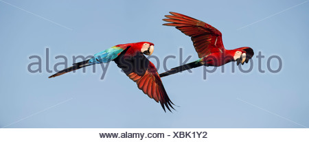 Pair of Red-and-Green (Green-winged) Macaws in flight, Chapada dos Guimaraes, Brazil (Ara chloropterus) - Stock Photo