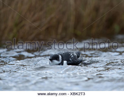 Little Auk  Alle alle storm driven on to pool at Salthouse Norfolk - Stock Photo