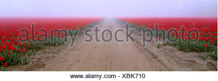 Agriculture - Road through a commercial field of red tulips in a heavy early morning fog / Skagit Valley, Washington, USA. - Stock Photo