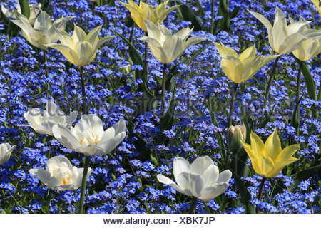 wood forget-me-not, woodland forget-me-not (Myosotis sylvatica), white and yellow tulips with forget-me-not - Stock Photo