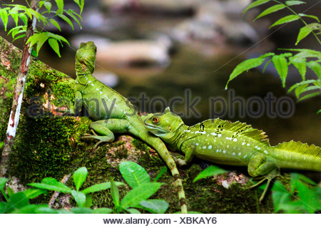 green basilisk, plumed basilisk, double-crested basilisk (Basiliscus plumifrons), two exemplars sitting on a mossy trunk in the tropical rain forest, Costa Rica - Stock Photo