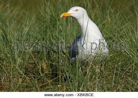 Herring Gull (Larus argentatus) in the breeding habitat, East Frisian Islands, East Frisia, Lower Saxony, Germany - Stock Photo