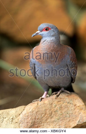 Speckled Pigeon (Columba guinea), adult on rock, Simonstown, Western Cape, South Africa - Stock Photo