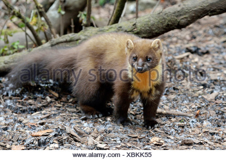 Pine Marten (Martes martes), zoo, Arth Goldau, Switzerland - Stock Photo