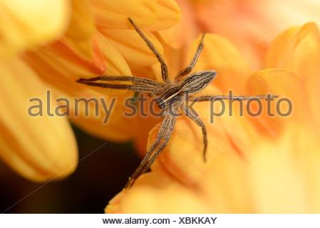 Nursery Web Spider, Pisaura mirabilis, on yellow blossom - Stock Photo