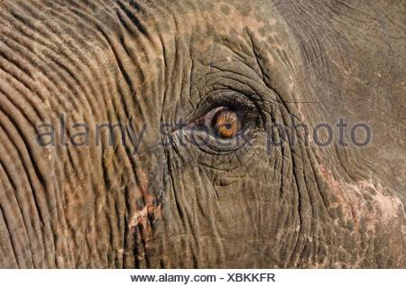Eye of an Asian or Asiatic elephant (Elephas maximus) in Kaziranga National Park, Assam, India, Asia - Stock Photo