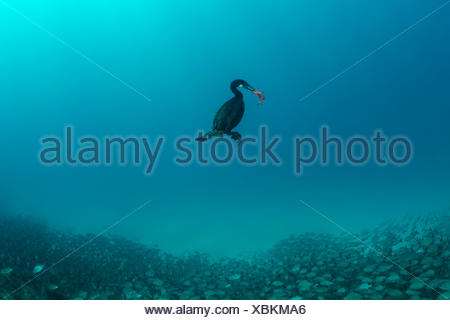 Brandts Cormorant captured Fish, Phalacrocorax penicillatus, La Paz, Baja California Sur, Mexico - Stock Photo