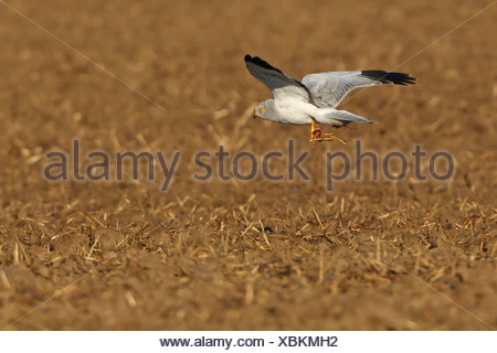 hen harrier (Circus cyaneus), with prey in the claws, Germany, Rhineland-Palatinate - Stock Photo