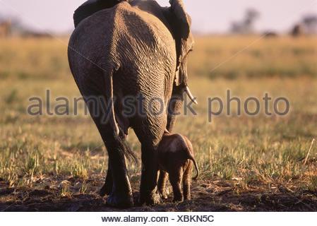 Elephant with Calf Savuti Region, near Chobe Botswana, Africa - Stock Photo