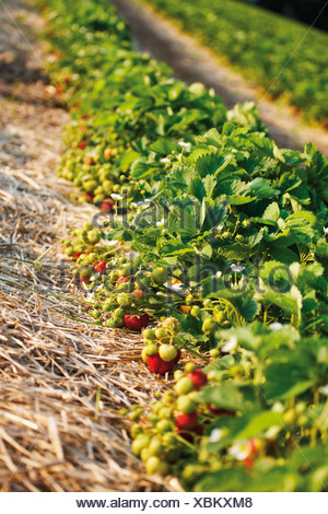 Germany, North Rhine-Westphalia, Berkum, Wachtberg, Strawberry field - Stock Photo