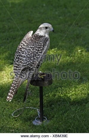 gerfalcon - Stock Photo