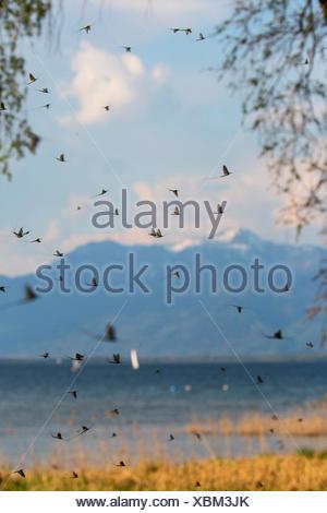 Gemeine Eintagsfliege, Braune Maifliege (Ephemera vulgata), Hochzeitsflug vor See und Alpenpanorama, Deutschland, Bayern, Chiems - Stock Photo