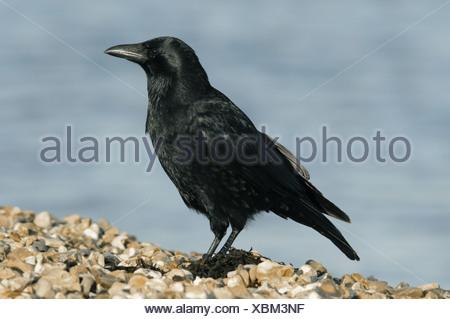 Carrion Crow Corvus corone corone - Stock Photo