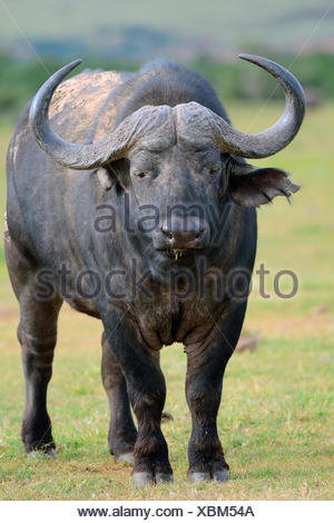 African Buffalo or Cape Buffalo (Syncerus caffer), standing on a meadow, back covered with dry mud, Addo Elephant National Park - Stock Photo