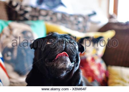 Close-Up Of Black Pug At Home - Stock Photo