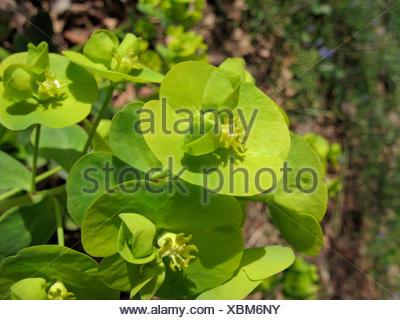 wood spurge (Euphorbia amygdaloides), inflorescences, Germany - Stock Photo
