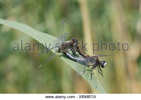 paringswiel gevlekte witsnuitlibel op riethalm; mating wheel large faced darter on common reed halm - Stock Photo