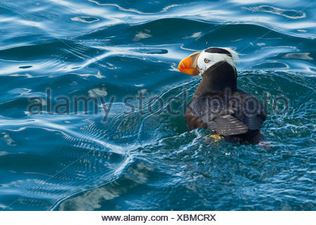 Portrait of a tufted puffin floating on water. - Stock Photo