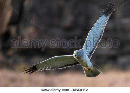 A northern harrier, Circus hudsonius, in flight at Drumheller's Coulee. - Stock Photo