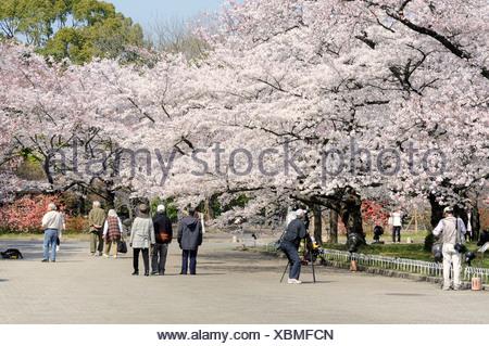 Famous cherry blossoms, Cherry Blossom Festival, Kyoto Botanical Garden, Japan, East Asia, Asia - Stock Photo
