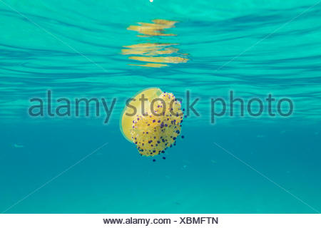 A yellow jellyfish under the waves of turquoise sea La Marmorata Santa Teresa di Gallura Province of Olbia Sardinia Italy Europe - Stock Photo