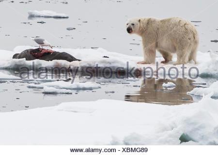 A polar bear, Ursus maritimus, and a bearded seal, Erignathus barbatus, kill on an ice floe. A glaucous gull, Larus hyperboreus, scavenges the carcass. - Stock Photo