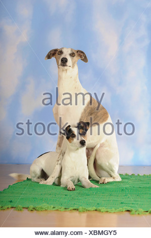 Whippet, sitting, and Parson Russell Terrier, lying - Stock Photo